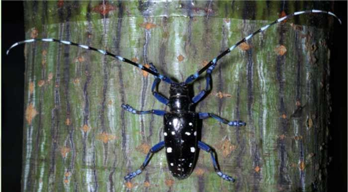 asian longhorned beetles natural predators